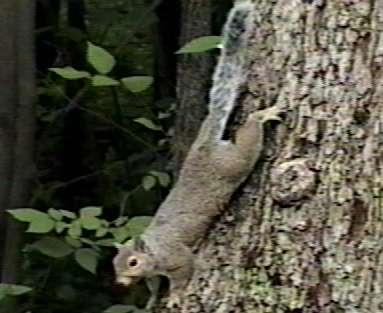 graysquirrel.jpg